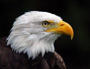 Der Weißkopfseeadler mit seiner beeindruckenden Erscheinung