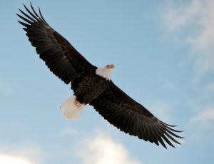 Der Weisskopfseeadler in der Luft