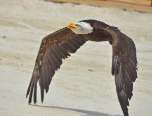 Ein Weisskopfseeadler fliegt durch die Luft