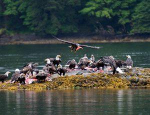 Herde der Weißkopfseeadler fressen auf einer Insel Fisch Kadaver