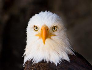 Kopf vom Weißkopfseeadler