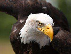 Weißkopfseeadler – Lebensraum, Brutzeit, Feinde, Ernährung