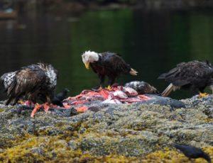 Weißkopfseeadler fressen Fischkadaver