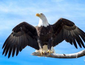 Weisskopfseeadler mit ausgebreiteten Flügeln
